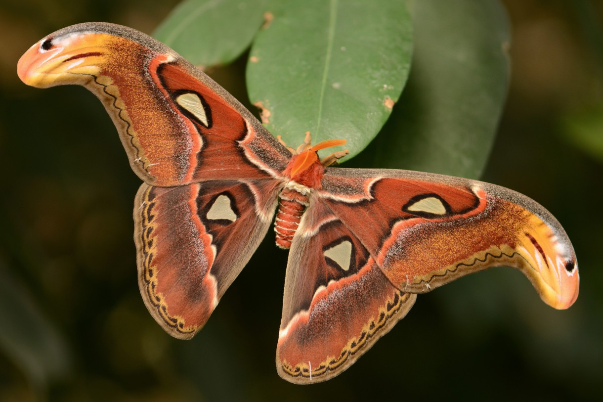 Butterfly Park - Attacus Atlas