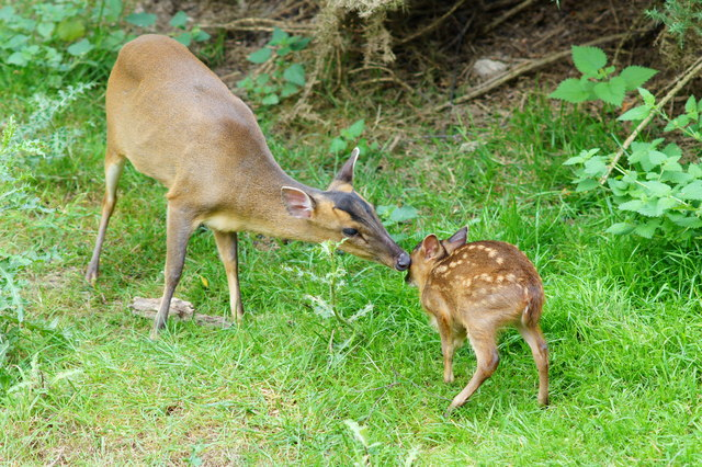 Butterfly Park - Muntjac